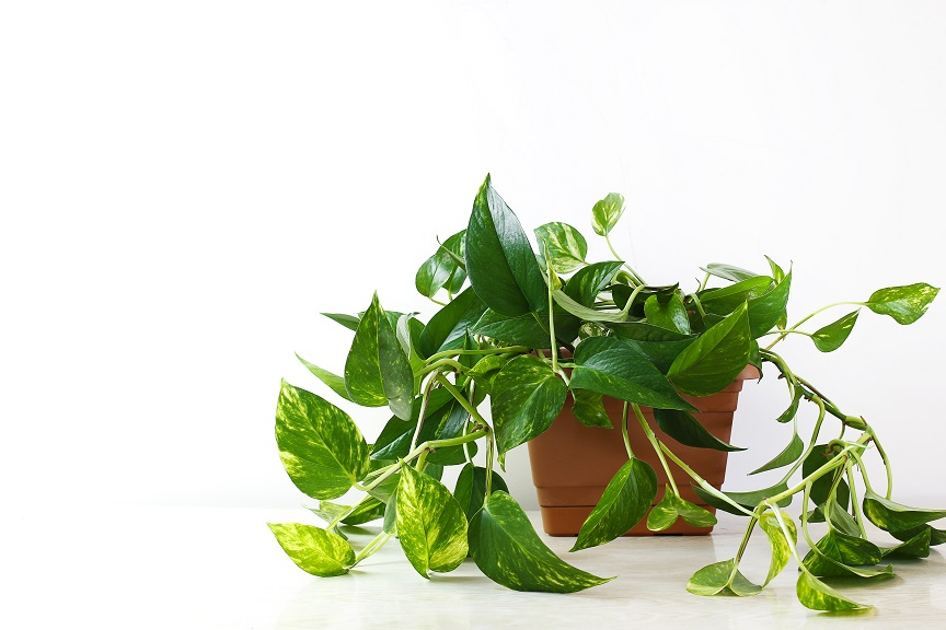 Golden pothos or Epipremnum aureum on white table in the living