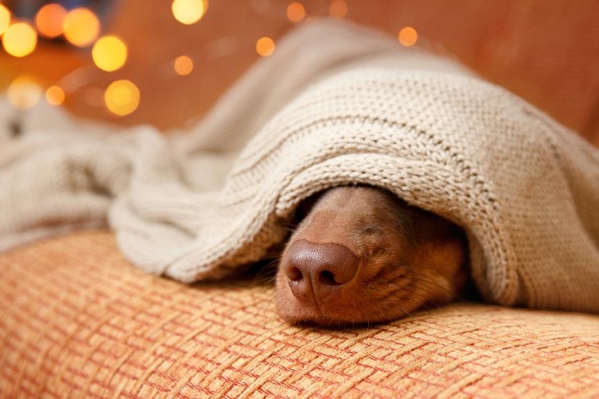 Dog sleeps under the blanket near christmas light. Close up. Winter concept