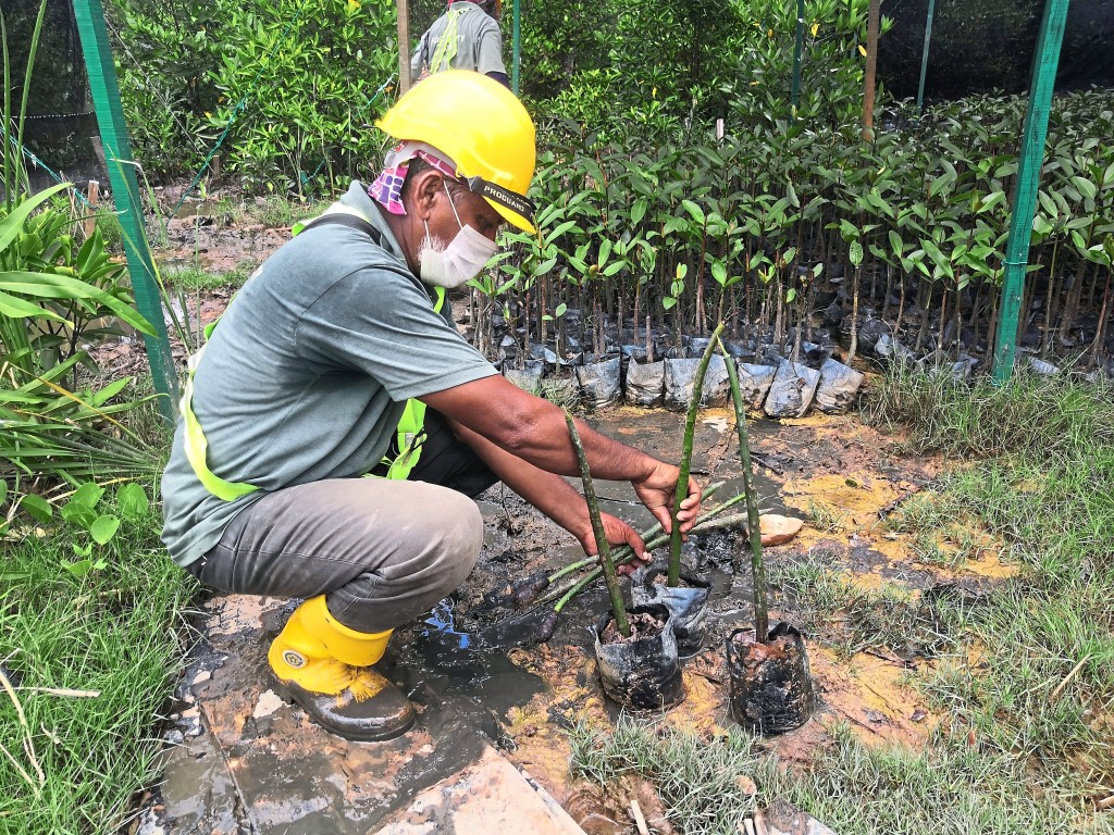 Mangrove saplings were planted in the Forest City nursery to be transplanted later.