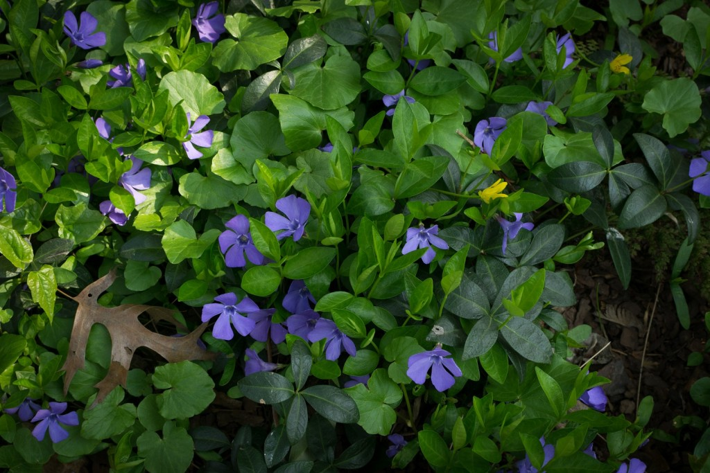 Blue botanical periwinkle plant or vinca minor close up